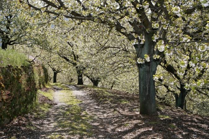 Cerezo en Flor en el mes de abril