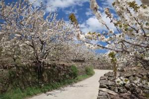 Valle de Jerte en flor. Imagen de Valle de Jerte-ValleCereza