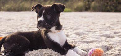 mascota playa perro